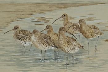 Curlew-flock