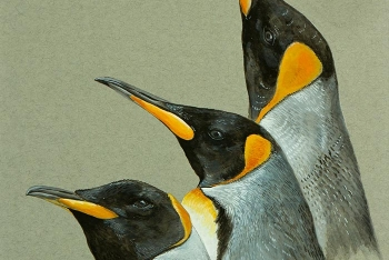 King-penguin-study