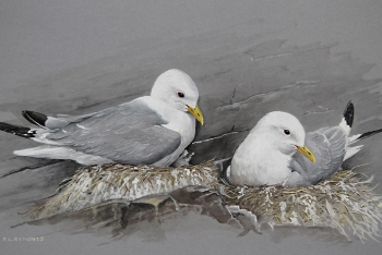 Kittiwakes-on-nests